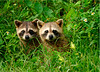 Raccoon babies 711