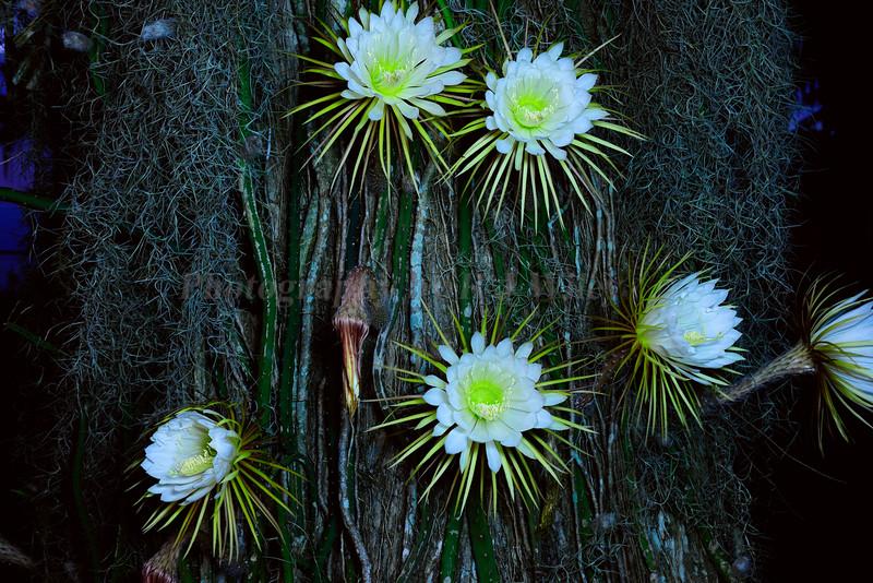 Night blooming flower 624