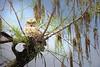 Owl Great Horned 4693