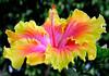 Hibiscus193 tif