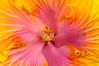 Hibiscus 2864