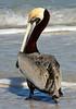 Pelican 0918