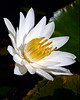 Water Lily 6041
