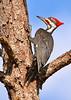 Pielated Woodpecker556