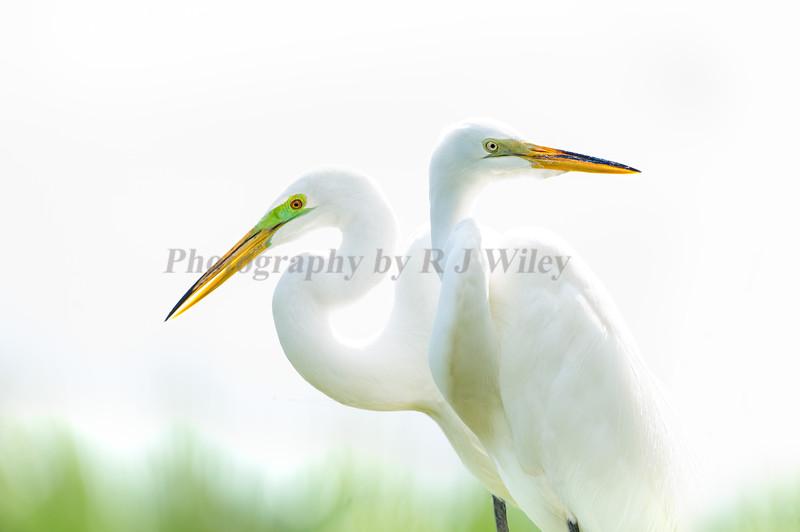 Great Egrets 9744