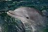 Dolphin 8477