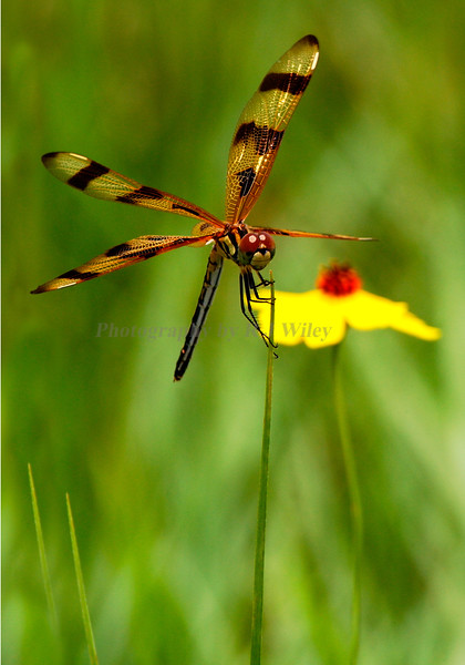 Dragonfly 3079