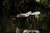 Snowy Egret 4896