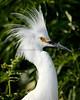 Snowy Egret 4815