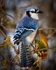 Blue Jay 2363