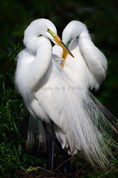Egrets 1050 a