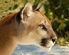 Panther 1445