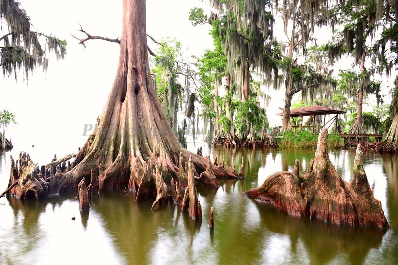 Cypress trees Lake Istokpoga1520