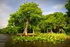 Cypress trees Lake Istokpoga 2133