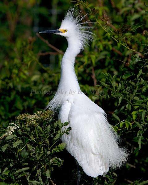 Snowy Egret 3834