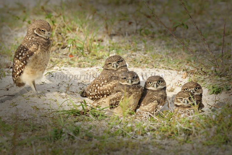Burrowing owls 8586