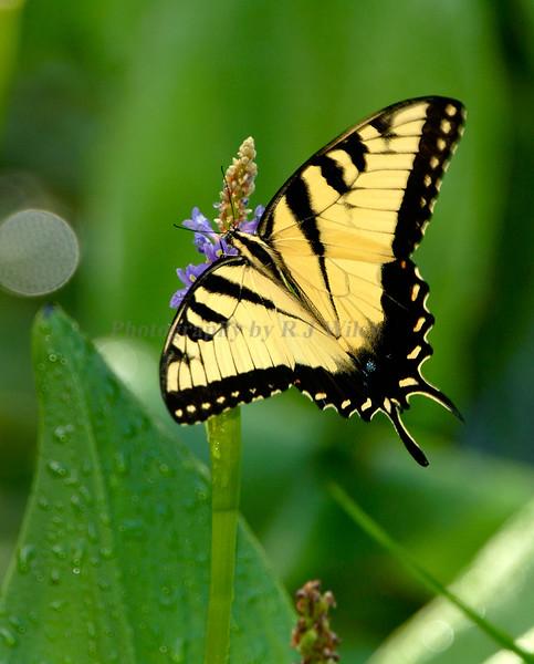 TigerSwallowtail7936