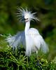 Snowy Egret 3900