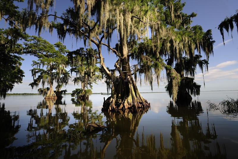 Cypress trees Lake Istokpoga 1138