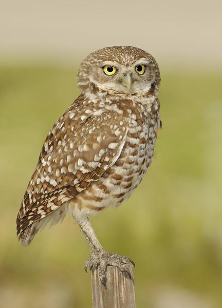 Burrowing owl 8631