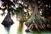 Cypress trees Lake Istokpoga 918