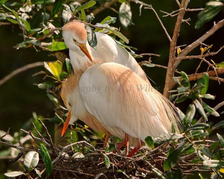Cattle Egrets 5816