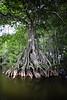 Cypress trees Lake Istokpoga 488