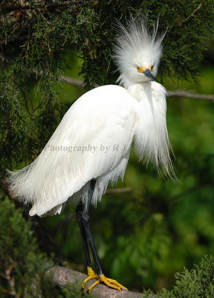 Snowy Egret 5590