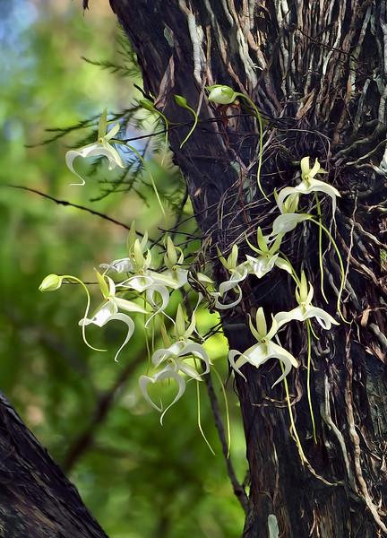 Ghost Orchid 6344  av