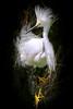 Snowy Egret 5049 16x24a