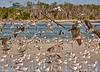 Pelicans 7780Artistic