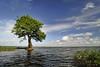 Cypress trees Lake Istokpoga 1960