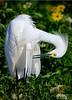 Snowy Egret 3887
