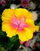 Hibiscus 2832