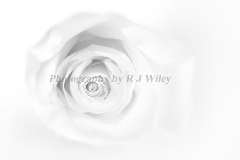 Rose 989 bw