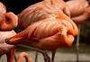 Flamingo8552