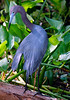 Little Blue Heron 299