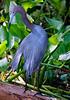 Little Blue Heron 299