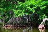 Cypress trees Lake Istokpoga 465