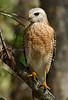 Hawk 9717