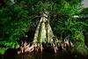 Cypress trees Lake Istokpoga 2230