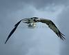 Osprey 0797