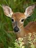 Deer 6789