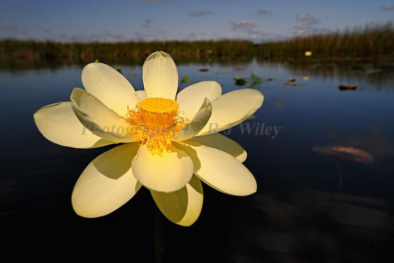 Lotus Flower 1294