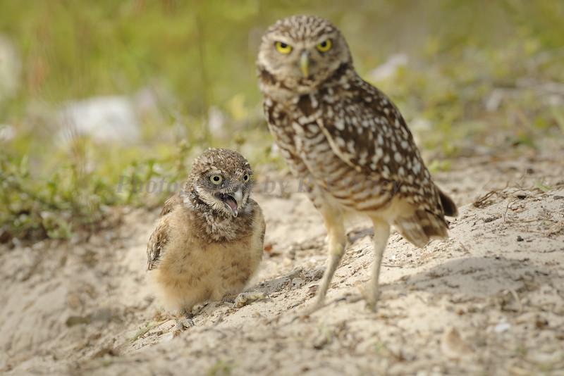 Burrowing owl 8839