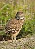 Burrowing owl 8550