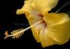 Hibiscus3611