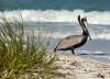 Pelican 978