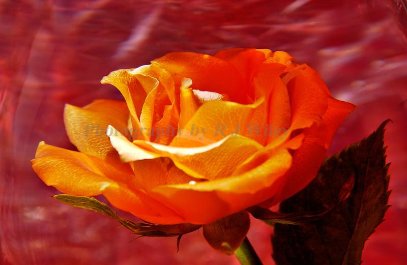 Rose 5019