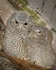 Screech owl babies 1612